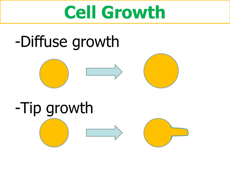 Cell Growth - Diffuse growth - Tip growth