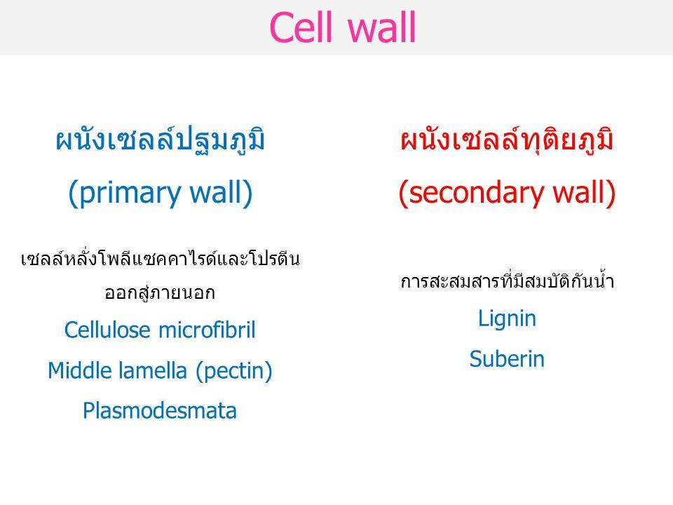 Cell wall ผนังเซลล์ปฐมภูมิ (primary wall) ผนังเซลล์ทุติยภูมิ (secondary wall) เซลล์หลั่งโพลีแซคคาไรด์และโปรตีน ออกสู่ภายนอก Cellulose microfibril Midd