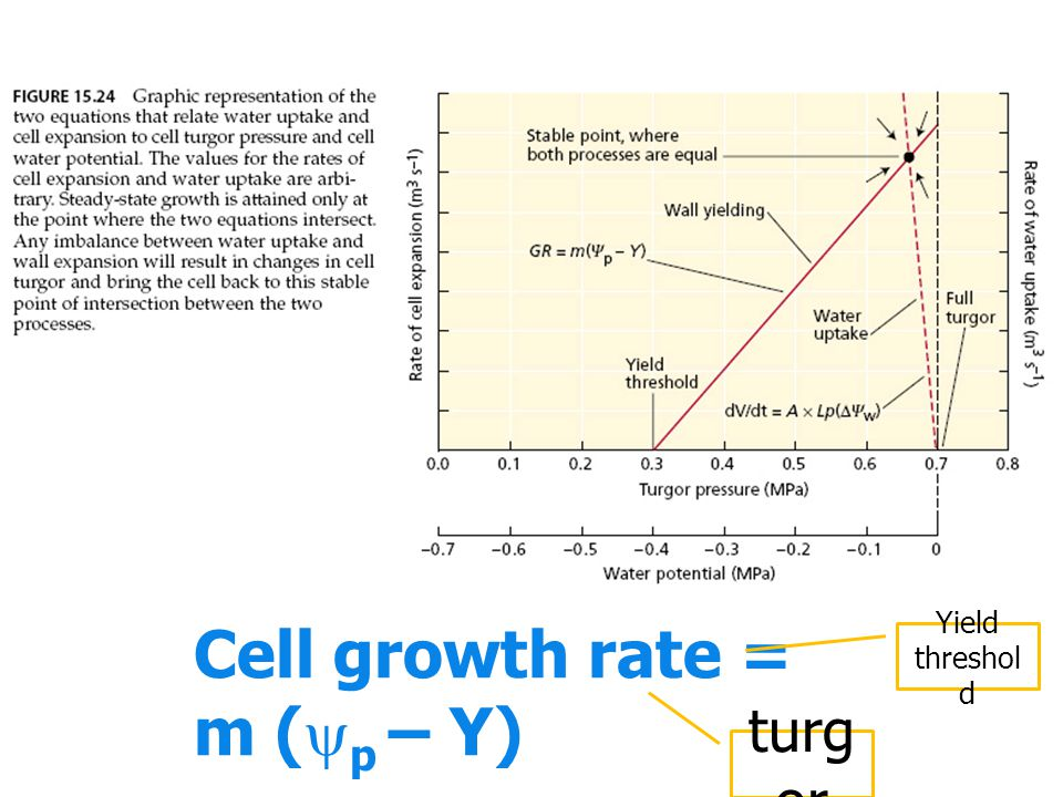 Cell growth rate = m (  p – Y) turg or Yield threshol d