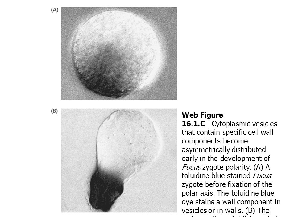Web Figure 16.1.C Cytoplasmic vesicles that contain specific cell wall components become asymmetrically distributed early in the development of Fucus