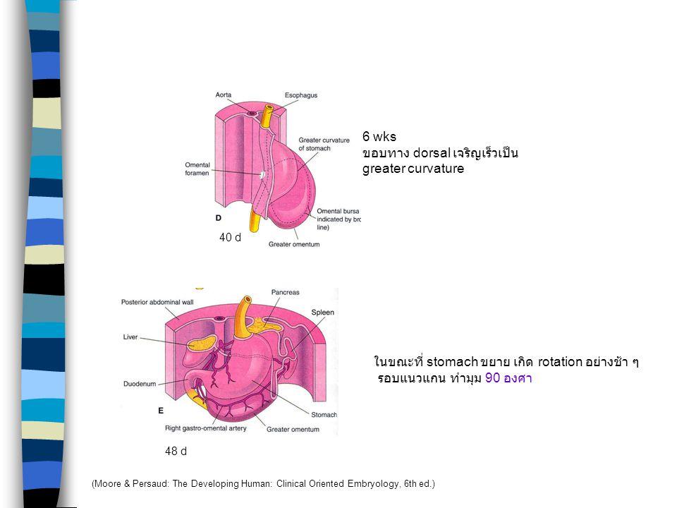 Stomach 35 d ขยายตัวในแนวหน้า - หลัง 28 d กลาง 4 wks ส่วนปลายของ foregut เริ่มขยายตัวเป็นรูปกระสวย อยู่ในแนวกลาง (Moore & Persaud: The Developing Huma