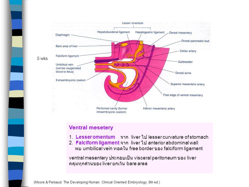4 wks 5 wks 6 wks Hepatic diverticulum Larger cranial part เป็น primordium ของ liver Small caudal part เป็น gall bladder Stalk of diverticulum เป็น cy