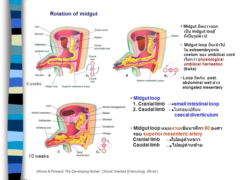 1. Small intestine 2. Caecum 3. Vermiform appendix 4. Ascending colon, Right 1/2-2/3 transverse colon MIDGUT