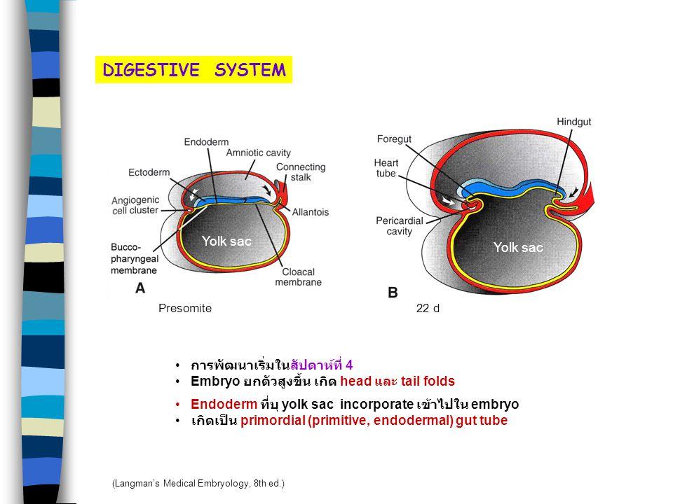 DIGESTIVE SYSTEM Presomite Yolk sac การพัฒนาเริ่มในสัปดาห์ที่ 4 Embryo ยกตัวสูงขึ้น เกิด head และ tail folds Endoderm ที่บุ yolk sac incorporate เข้าไปใน embryo เกิดเป็น primordial (primitive, endodermal) gut tube 22 d Yolk sac (Langman's Medical Embryology, 8th ed.)