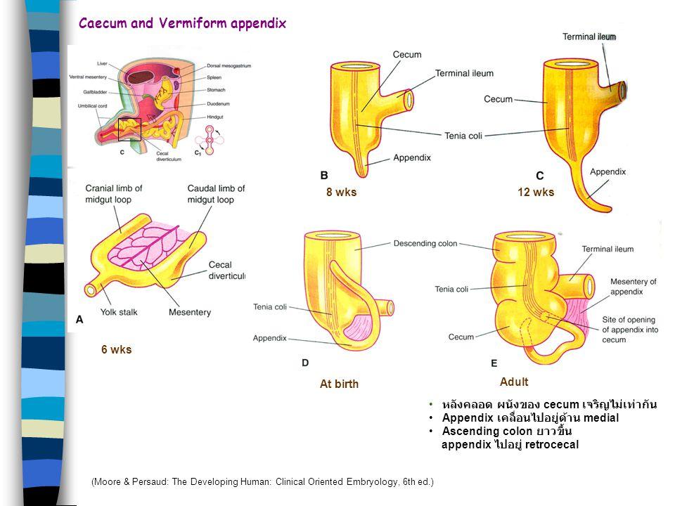 Fixation of intestines Before 4 mo ภายหลังการหมุนของ stomach & duodenum Duodenum (midgut) & pancreas กดบน posterior abdominal wall เกิด fusion retrope