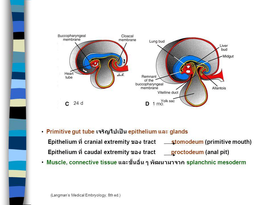 DIGESTIVE SYSTEM Presomite Yolk sac การพัฒนาเริ่มในสัปดาห์ที่ 4 Embryo ยกตัวสูงขึ้น เกิด head และ tail folds Endoderm ที่บุ yolk sac incorporate เข้าไ