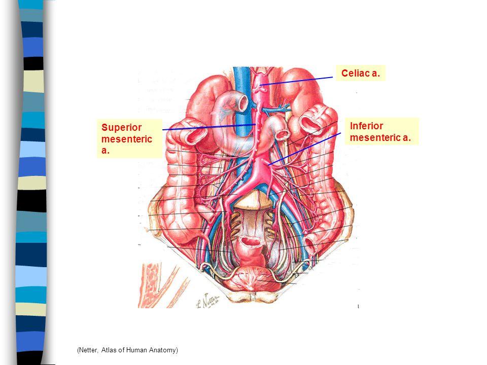 Omental bursa (lesser peritoneal sac) 5 wks H 6 wks Clefts in dorsal mesogastrium Coalescence ของ clefts เกิดเป็น omental bursa Dorsal mesentery ขยายตัว Stomach ขยายตัว Omental bursa มีขนาดใหญ่ขึ้น Omental (epiploic) foramen Inferior recess of omental bursa ยาวขึ้น เรียกว่า Greater omentum ต่อมา recess หายไป เนื่องจากการรวมตัวของชั้นของ greater omentum (Moore & Persaud: The Developing Human: Clinical Oriented Embryology, 6th ed.)