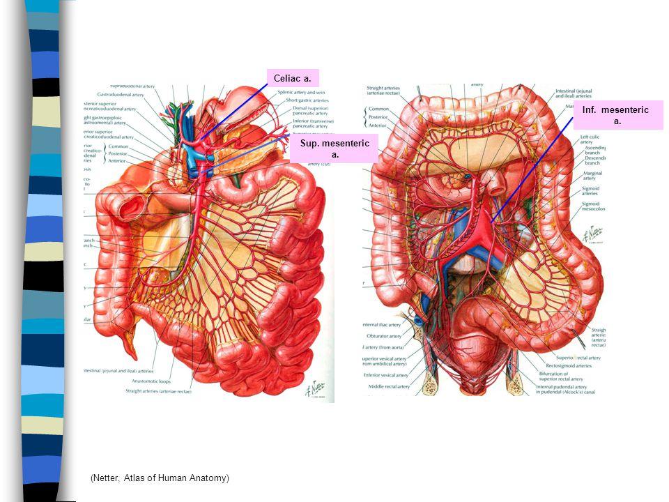 Celiac a. Sup. mesenteric a. Inf. mesenteric a. (Netter, Atlas of Human Anatomy)