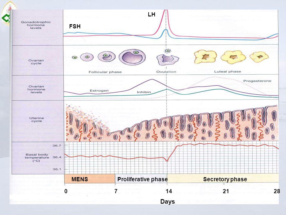 LH FSH MENS Proliferative phaseSecretory phase 0 7 14 21 28 Days