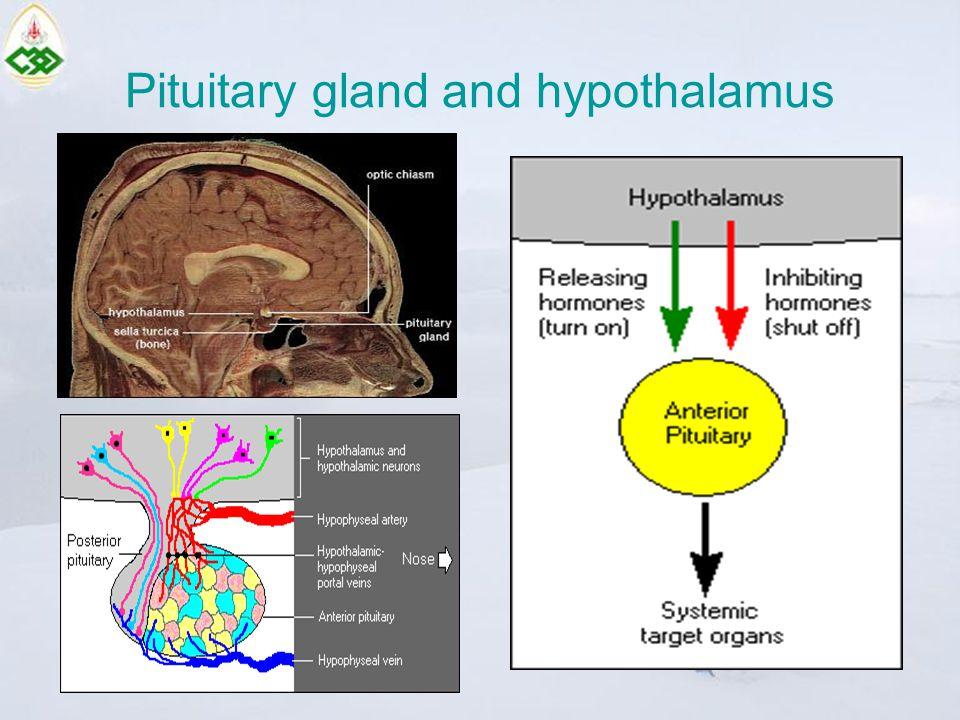 Pituitary gland hormones Anterior pituitary –Prolactin (PRL) –Growth hormone (GH) –Adrenocorticotropin (ACTH) –Thyroid stimulating hormone (TSH) –Luteinizing hormone (LH) –Follicle stimulating hormone (FSH) Posterior pituitary –Oxytocin –Antidiuretic hormone (ADH)