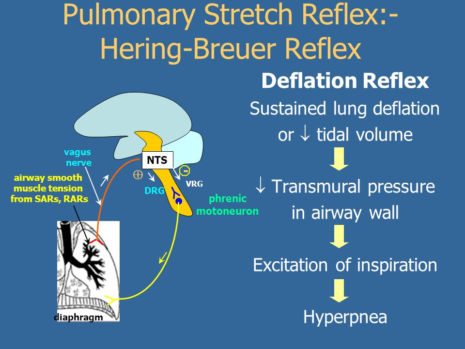 airway smooth muscle tension from SARs, RARs diaphragm Pulmonary Stretch Reflex:- Hering-Breuer Reflex NTS vagus nerve phrenic motoneuron VRG  - DRG Deflation Reflex Sustained lung deflation or  tidal volume  Transmural pressure in airway wall Excitation of inspiration Hyperpnea