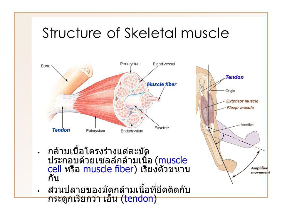 กล้ามเนื้อโครงร่างแต่ละมัด ประกอบด้วยเซลล์กล้ามเนื้อ (muscle cell หรือ muscle fiber) เรียงตัวขนาน กัน ส่วนปลายของมัดกล้ามเนื้อที่ยึดติดกับ กระดูกเรียกว่า เอ็น (tendon) Structure of Skeletal muscle