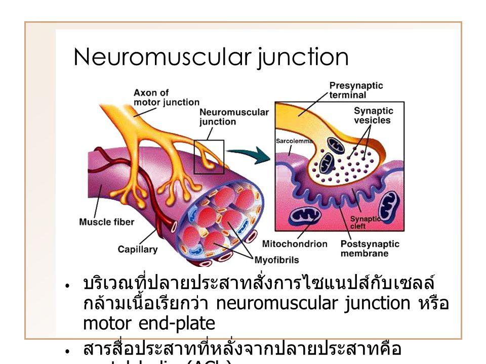 บริเวณที่ปลายประสาทสั่งการไซแนปส์กับเซลล์ กล้ามเนื้อเรียกว่า neuromuscular junction หรือ motor end-plate สารสื่อประสาทที่หลั่งจากปลายประสาทคือ acetylcholin (ACh) Neuromuscular junction