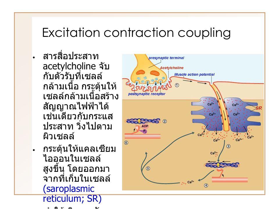 สารสื่อประสาท acetylcholine จับ กับตัวรับที่เซลล์ กล้ามเนื้อ กระตุ้นให้ เซลล์กล้ามเนื้อสร้าง สัญญาณไฟฟ้าได้ เช่นเดียวกับกระแส ประสาท วิ่งไปตาม ผิวเซลล์ กระตุ้นให้แคลเซียม ไอออนในเซลล์ สูงขึ้น โดยออกมา จากที่เก็บในเซลล์ (saroplasmic reticulum; SR) ทำให้เกิดการจับ และดึงของสาย actin และ myosin เกิดการหดตัวของ กล้ามเนื้อ Excitation contraction coupling