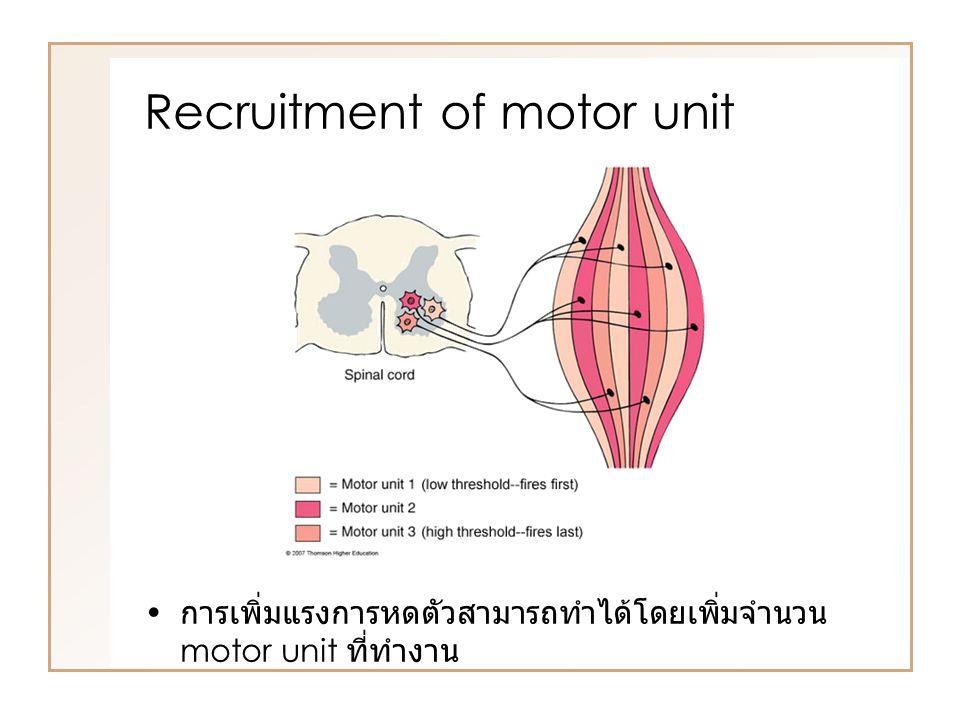 Recruitment of motor unit การเพิ่มแรงการหดตัวสามารถทำได้โดยเพิ่มจำนวน motor unit ที่ทำงาน