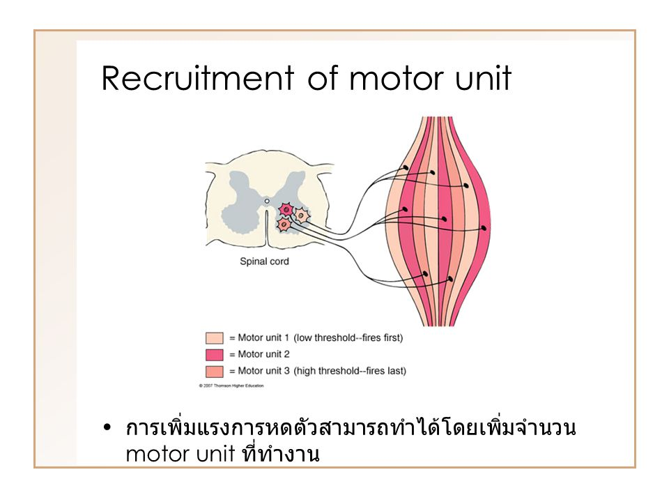 Summation of muscle contraction การกระตุ้นซ้ำๆ ทำให้เกิดการรวมกันของการหดตัว (summation) ทำให้แรงการหดตัวเพิ่มมากขึ้น กลไก – เพิ่ม Ca 2+ ในเซลล์ – ไม่เสียแรงไปยืด series elastic component