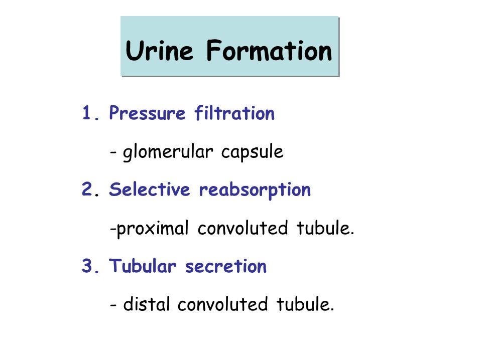 1.Pressure filtration - glomerular capsule 2. Selective reabsorption -proximal convoluted tubule. 3. Tubular secretion - distal convoluted tubule. Uri