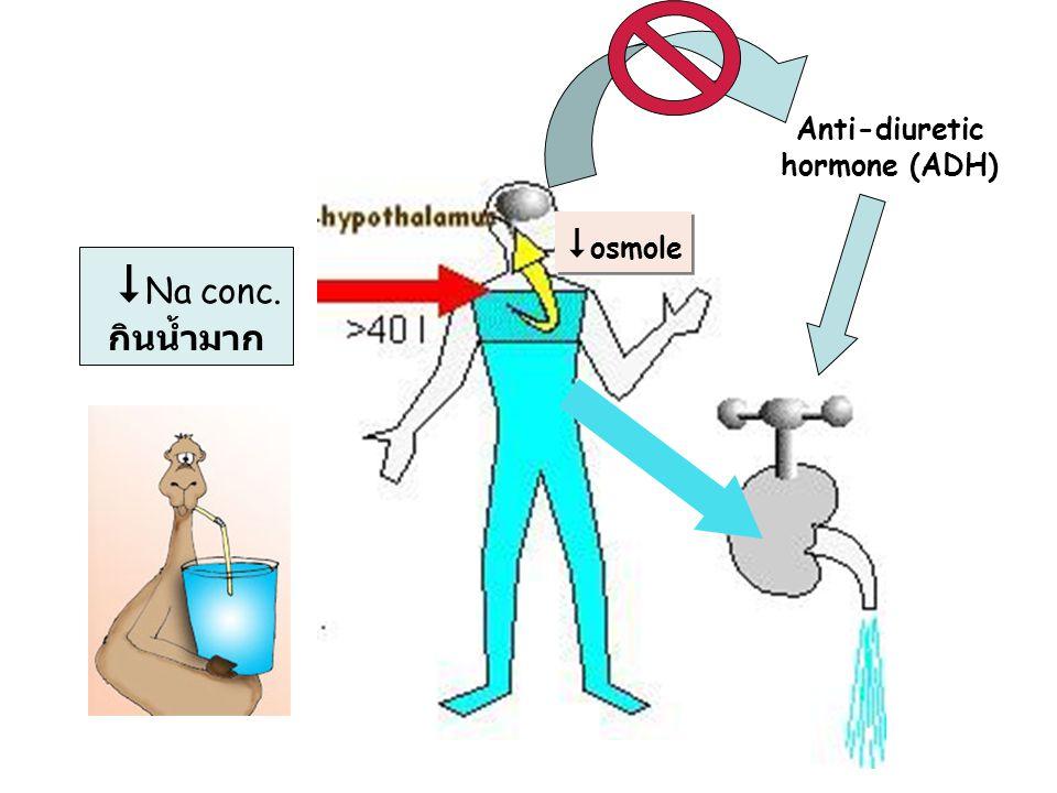 Anti-diuretic hormone (ADH)  Na conc. กินน้ำมาก  osmole
