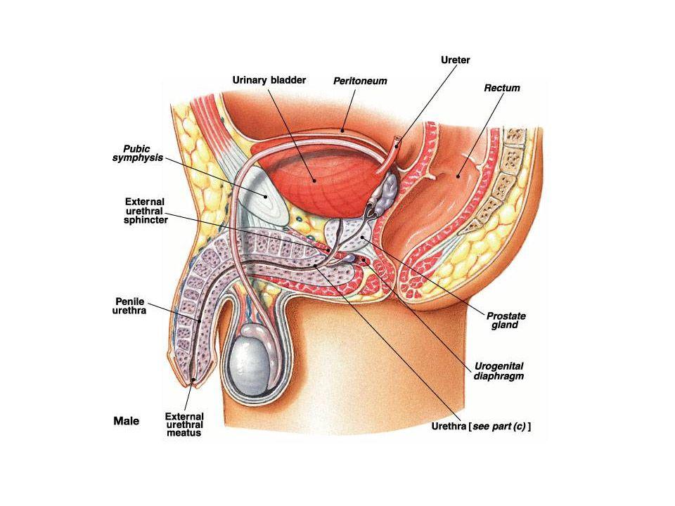 การควบคุมสมดุลของน้ำและ sodium การควบคุม osmolarity ของร่างกาย –Osmole receptor ที่ anterior hypothalamus – ควบคุมการดื่มน้ำและการปัสสาวะ –Antidiuretic hormone (ADH) การควบคุมปริมาตรของร่างกาย – การรับรู้ปริมาตรของร่างกาย (volume sensing) :- baroreceptor ที่ผนังหลอด เลือด –Renin-angiotensin-aldosterone –Reabsorption of sodium
