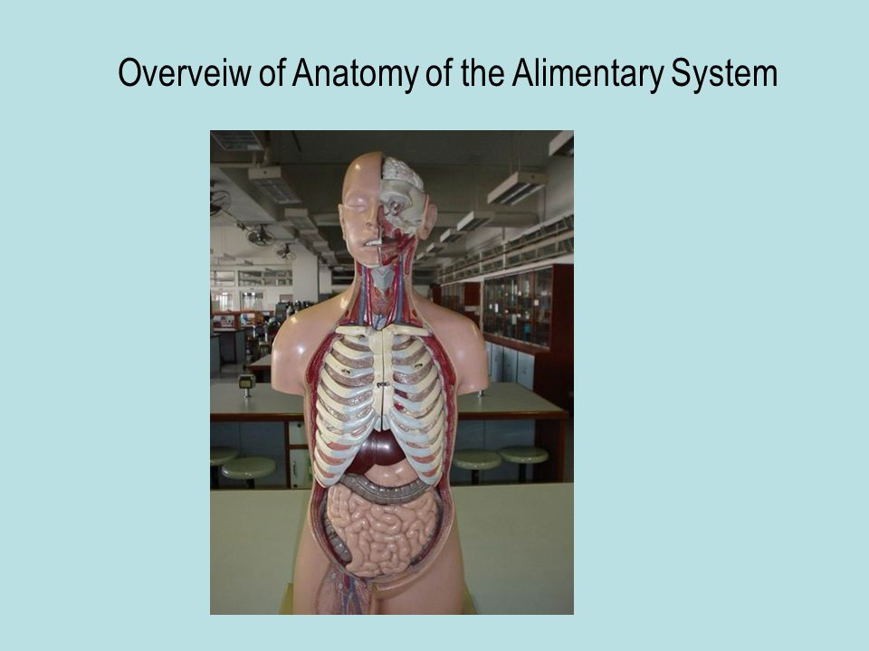 Overveiw of Anatomy of the Alimentary System