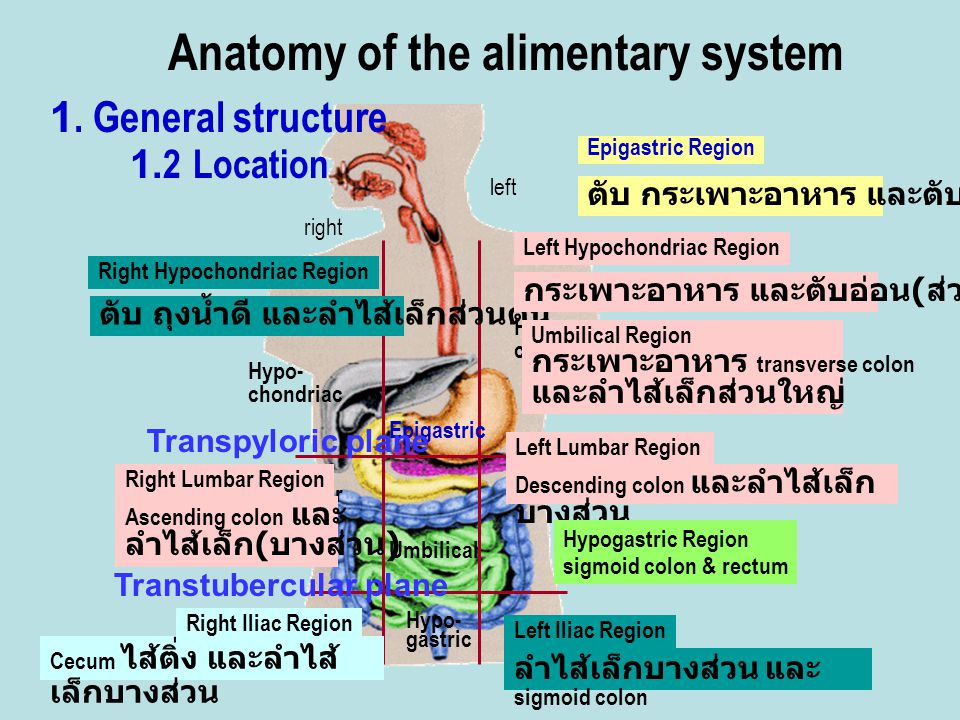 Anatomy of the alimentary system 1. General structure 1.2 Location Hypo- chondriac Hypo- chondriac Lumbar Epigastric Umbilical Iliac right left Hypo-