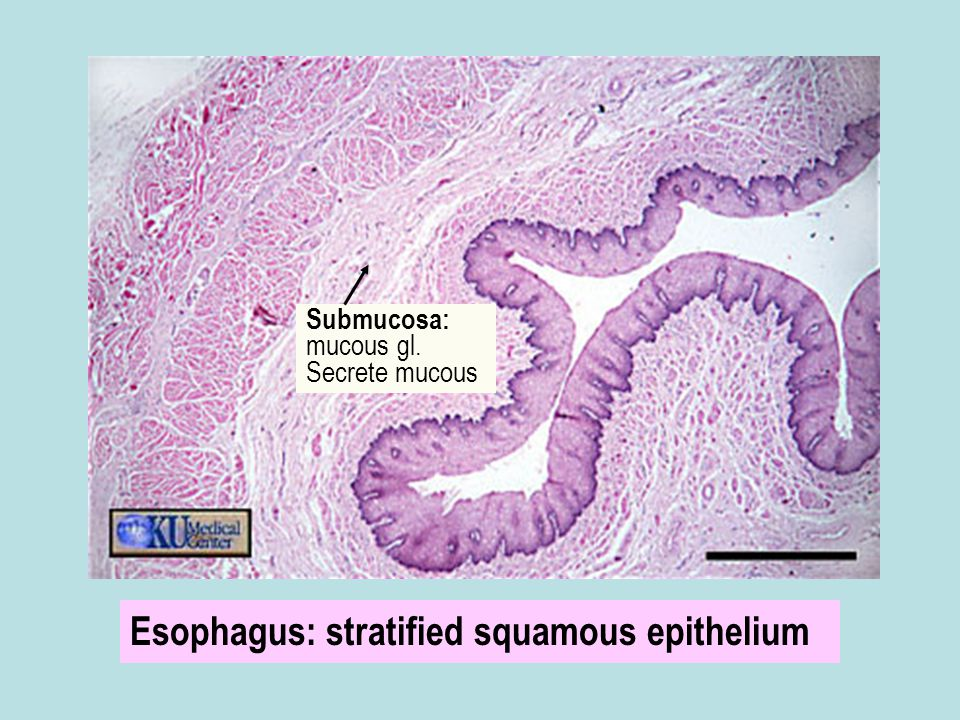 Esophagus: stratified squamous epithelium Submucosa: mucous gl. Secrete mucous