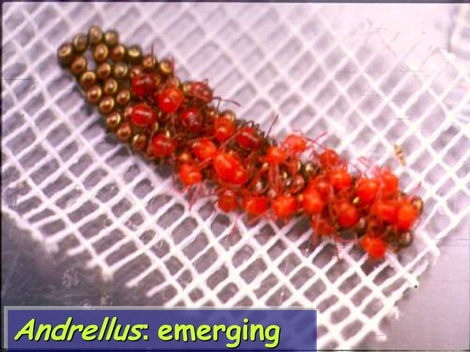 Andrellus: emerging