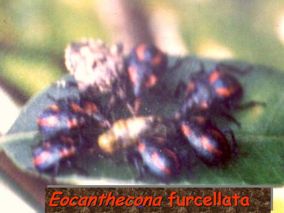EocantheconaEocanthecona