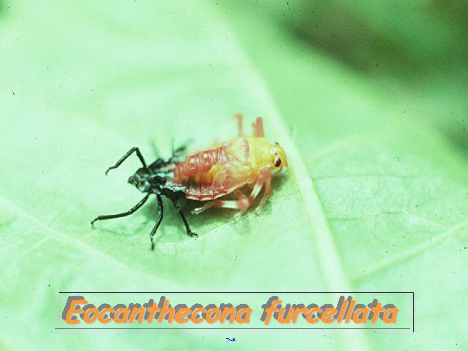 vs Podontia Eocanthecona fuecellata