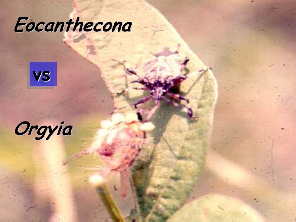 vsvs Limacodid Larva