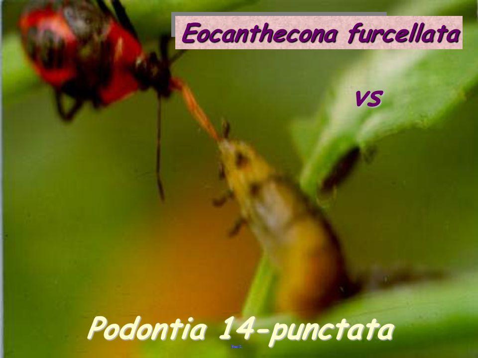 vsvs Eocanthecona Orgyia
