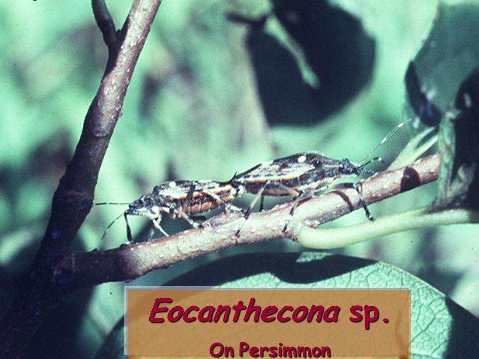 Eocanthecona furcellata vs Podontia 14-punctata