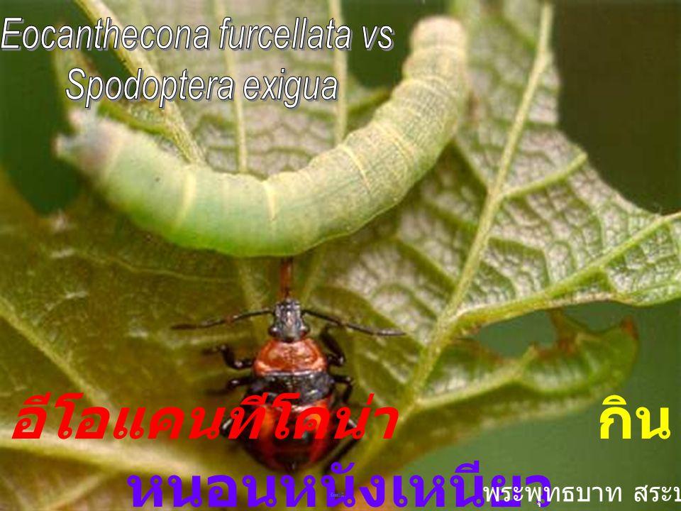 Eocanthecona furcellata Wolf ไข่อีโอแคนทีโคน่า
