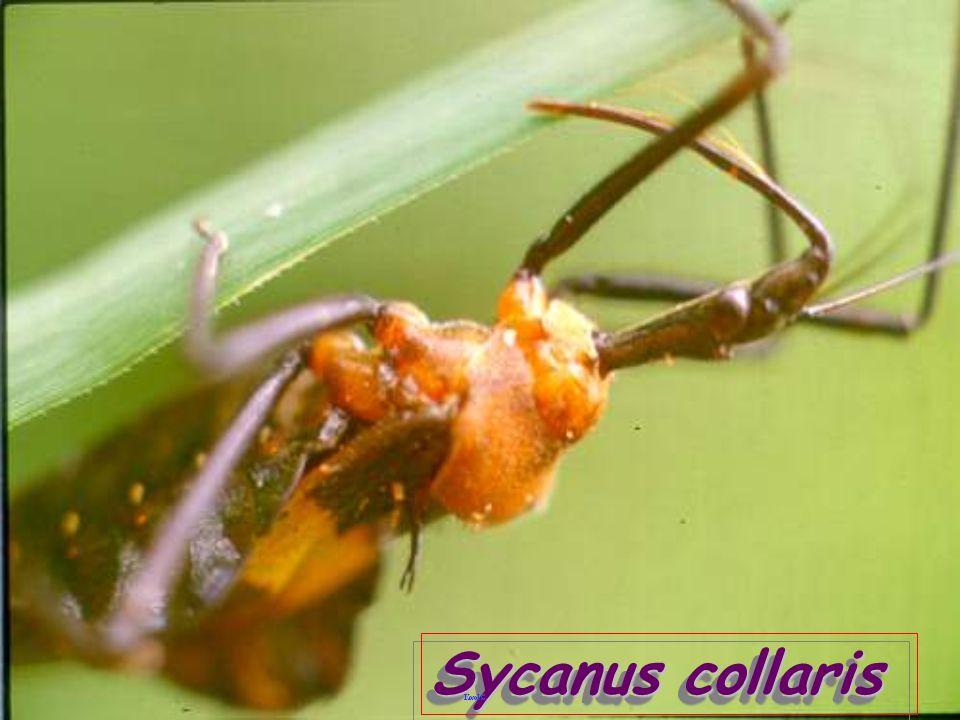 Sycanus collaris Sycanus collaris
