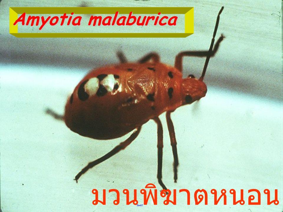 อีโอแคนทีโคน่า กิน หนอนหนังเหนียว พระพุทธบาท สระบุรี 1997