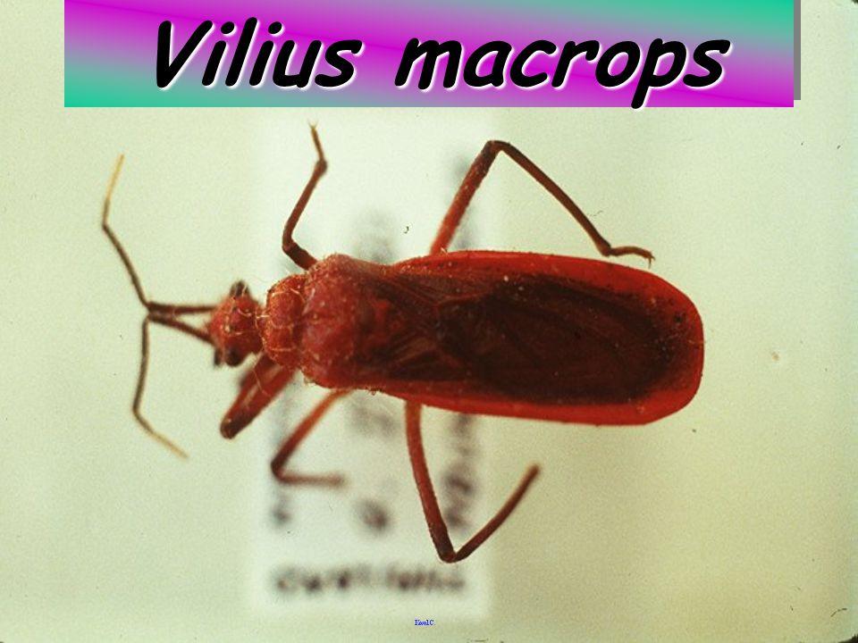 Sycanus vs Termite