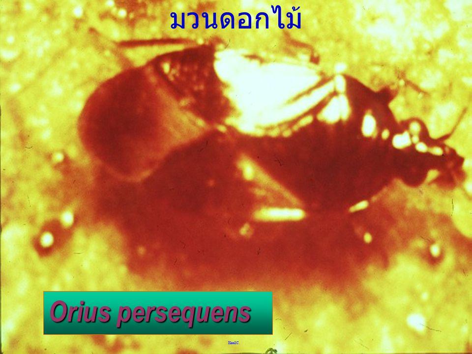 Wollastoniella vs Sminthuriidae Sminthuriidae