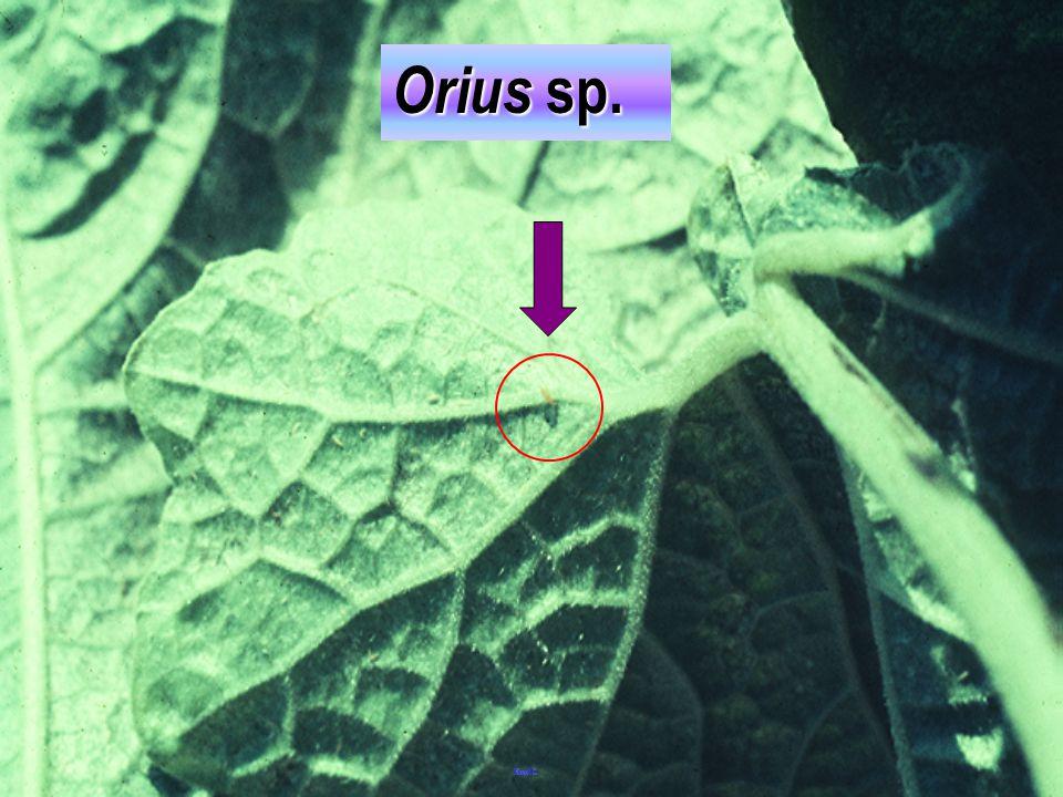 Orius persequens มวนดอกไม้