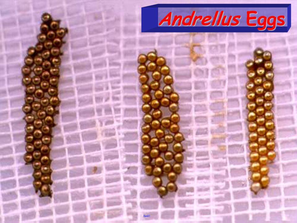 Andrellus Eggs
