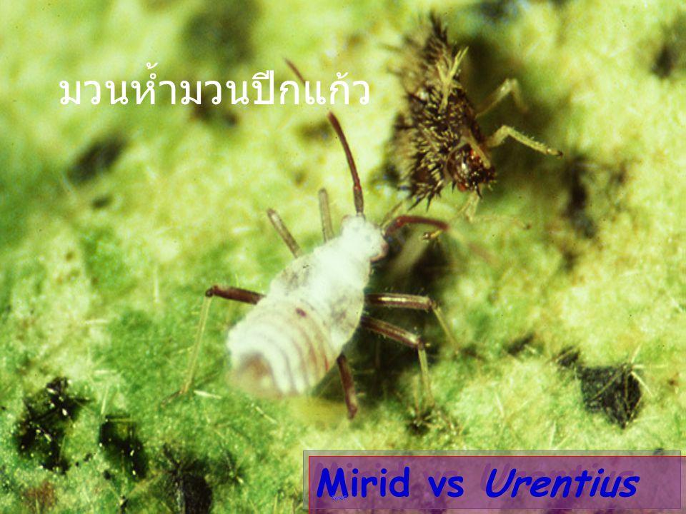 Cyrtorhinus lividipennis มวนห้ำไข่เพลี้ย