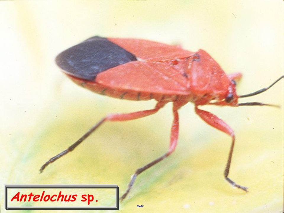 Tytthus chinensis มวนห้ำไธทัส