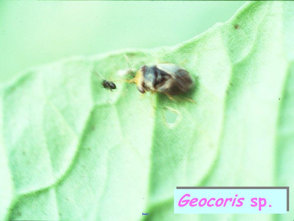 Geocoris sp. มวนตาโต