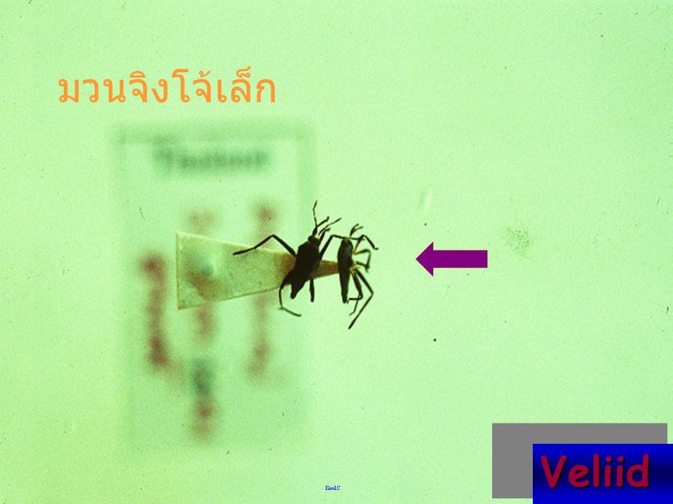 Leptocerus indica มวนแมลงดานา