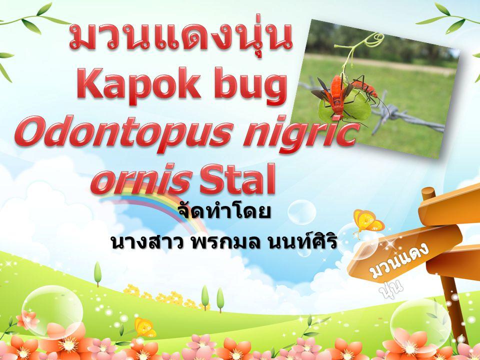 ชื่อวิทยาศาสตร์ : Odontopus nigricornis Stal ชื่อท้องถิ่น : ชื่อไทย : มวนแดงนุ่น ชื่อสามัญ : Kapok bug อันดับ : Hemiptera วงศ์ : Pyrrhocoridae