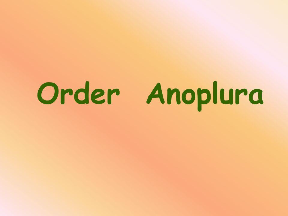 Order Anoplura