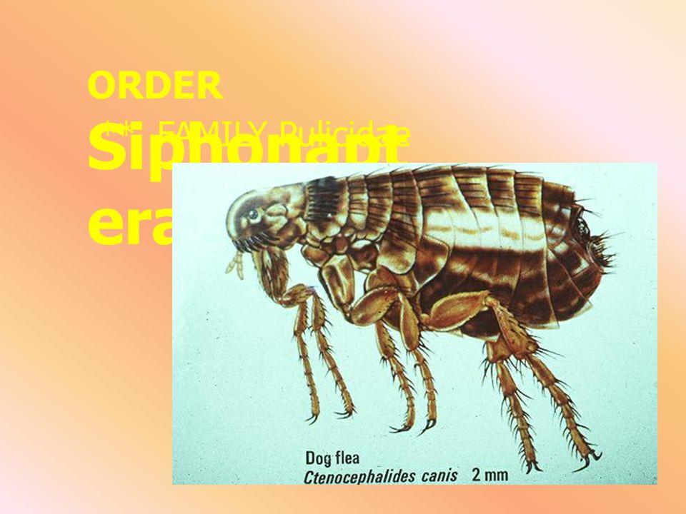F. Cimicidae