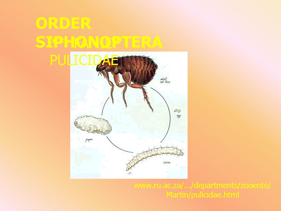 ORDER SIPHONOPTERA