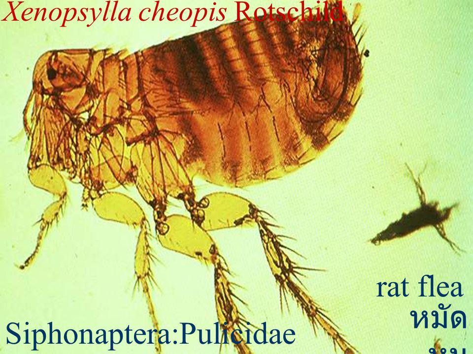 Echidnophaga gallinacea Echidnophagidae chicken flea