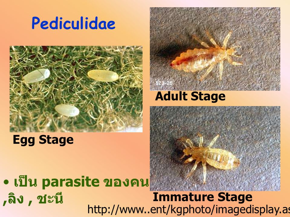 Haematopinidae Egg Stage Adult Stage Immature Stage http://www..ent/kgphoto/imagedisplay.asp? Order=Anoplura เป็น parasite ของม้า วัว ควาย หมู