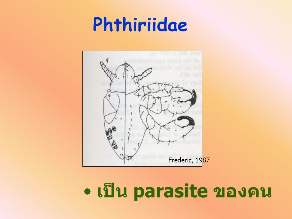 Pediculus humanus vs Phthirius pubis Pediculus humanus vs Phthirius pubis Pediculidae Phthiriidae